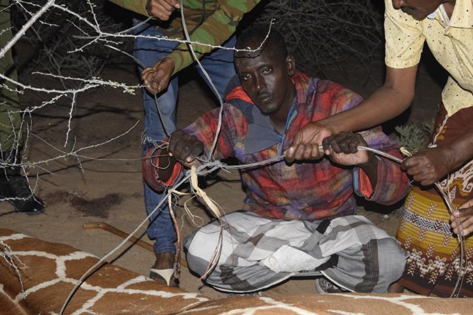 Human-giraffe Conflict In Garissa
